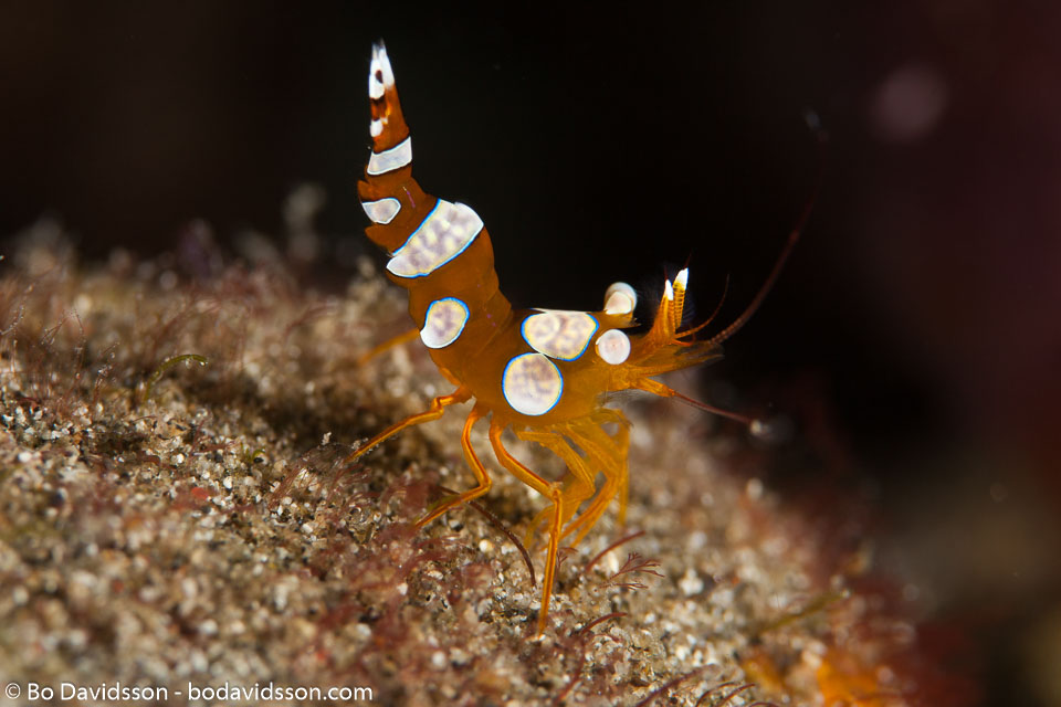 BD-161025-Pantar-2848-Thor-amboinensis-(de-Man.-1888)-[Sqat-anemone-shrimp].jpg